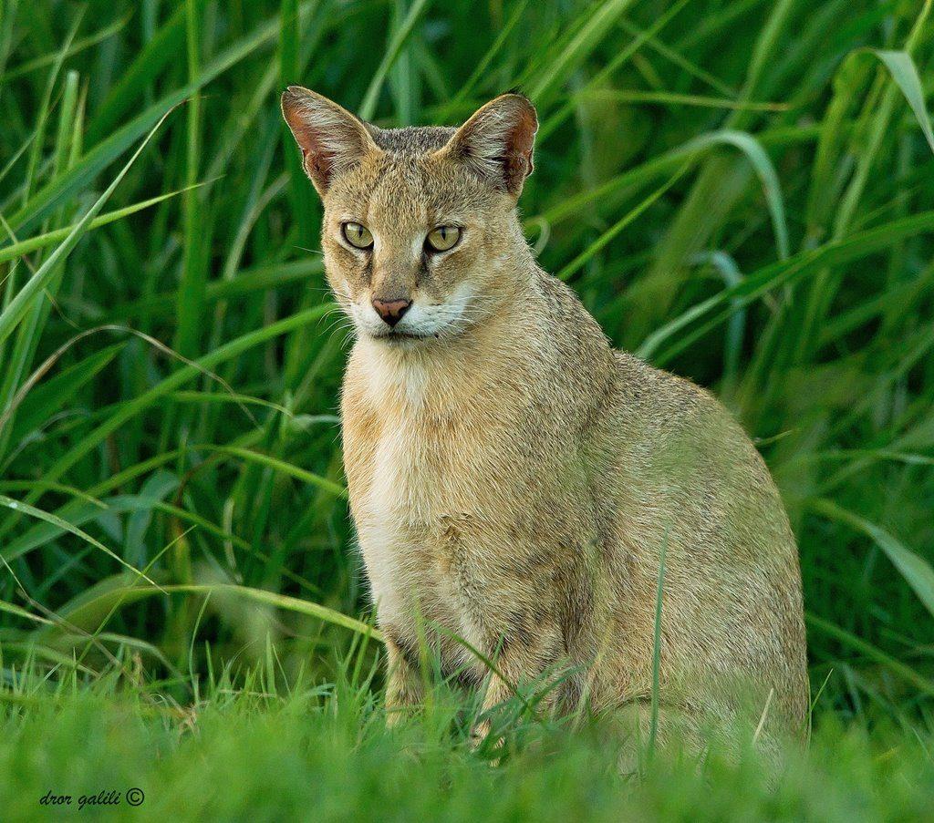 עגלות המסתור בקיץ - חתול ביצות