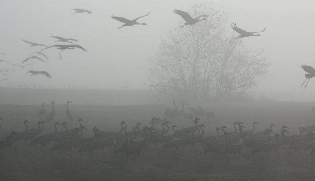 עגלות המסתור בחורף - עגורים